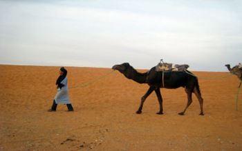 Kamel in der Sahara