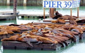 San Francisco - Seehunde an Pier 39