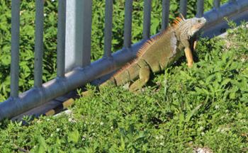 Florida - Leguan auf Islamorada